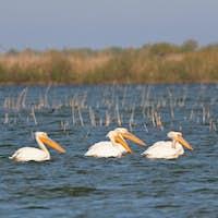 pelicans in the Danube Delta