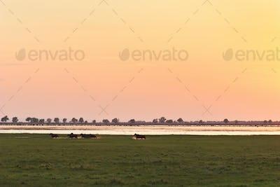 wild horses in the Danube Delta
