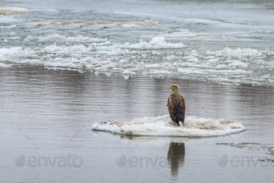 white tailed eagle in winter