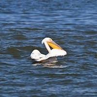 pelican in Danube Delta