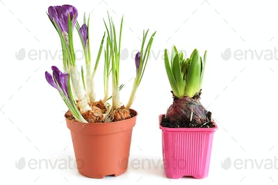 Growing hyacinth and crocuses
