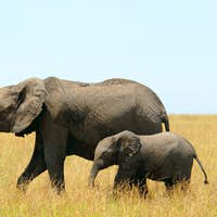 African elephants mother and baby