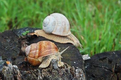 Big snails