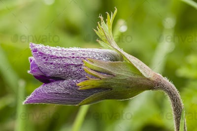 Purple flower and dew drops