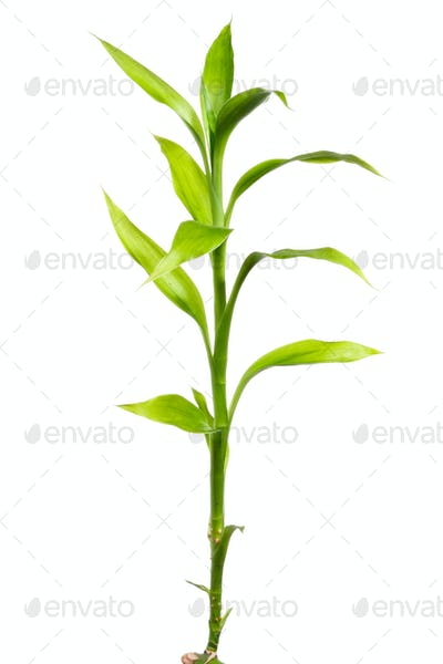 Bamboo sprout