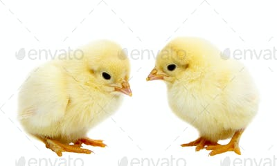 Baby Chickens
