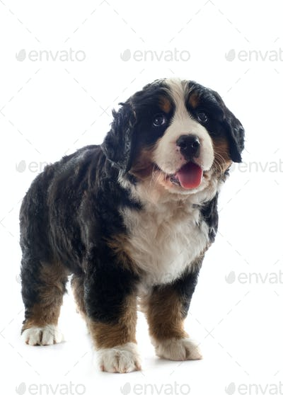 puppy bernese moutain dog