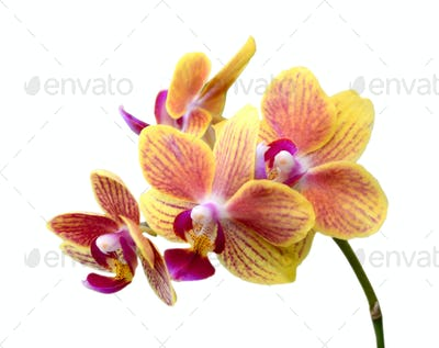 Yellow tropical orchid