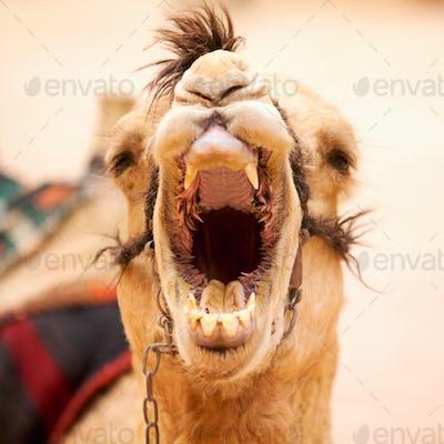 Yawning camel