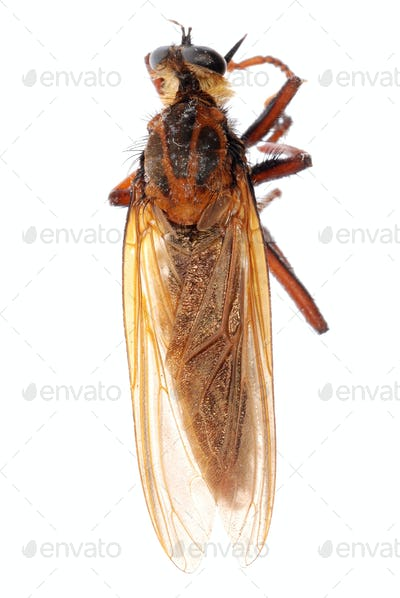 robber fly isolated