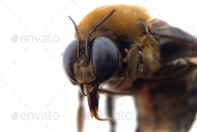 bumble bee head macro
