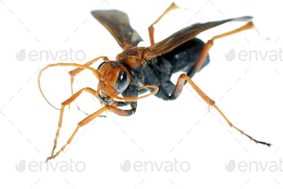 wasp insect macro isolated on white