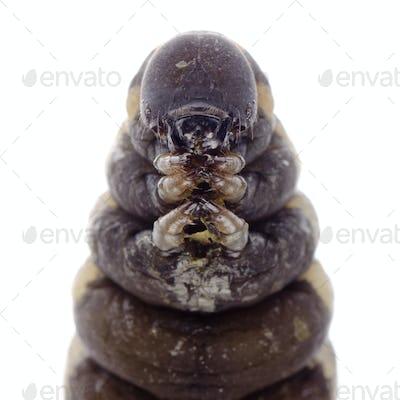 cocoon caterpillar