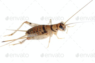 insect cricket