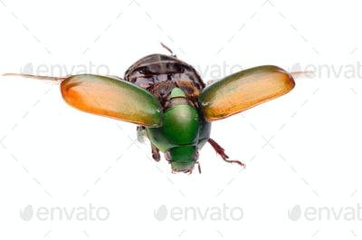 flying insect scarab beetle