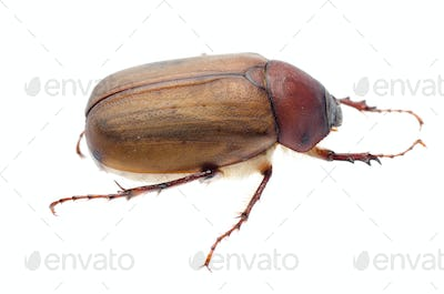 brown June beetle