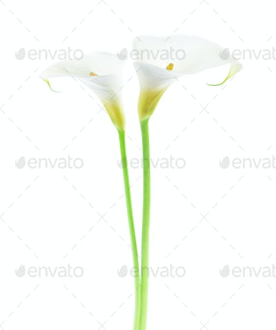 Two Calla Lily flowers on white background