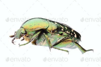 green flower beetle