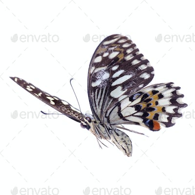 flying citrus swallowtail lime butterfly