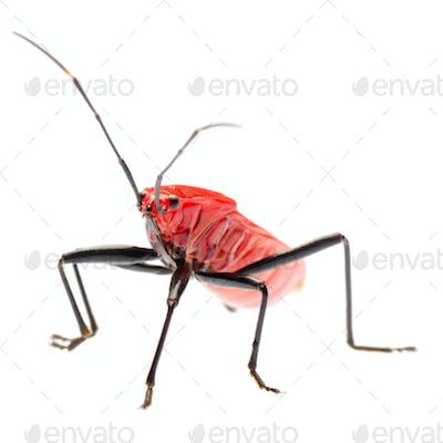 red stink bug, Melamphaus rubrocinctus