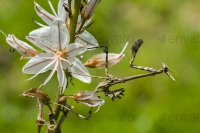 Conehead mantis, Empusa pennata