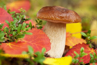 cep mushroom in forest