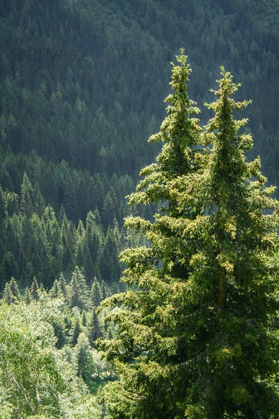 Alpine fir trees with dense forest texture