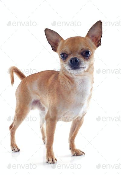 male chihuahua