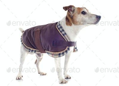 jack russel terrier with coat