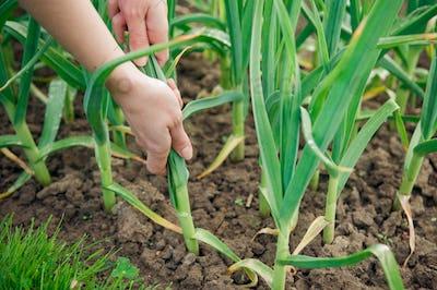Picking garlic plant