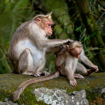 Mother macaque monkey cleaning her baby in bamboo forest