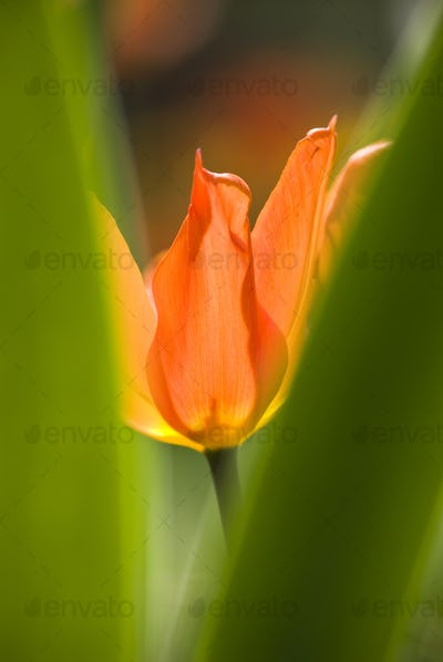Orange Tulip among Green Leaves