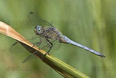 Dragonfly, Keeled Skimmer