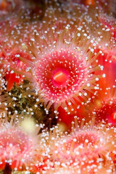 Anemones feeding