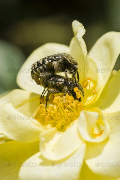 Insects and Ornamental rose