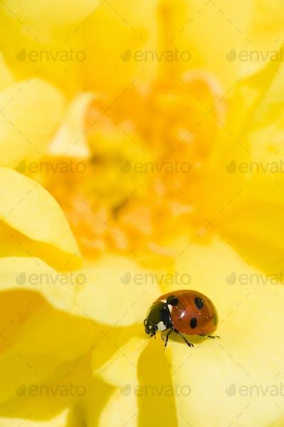 Ladybug on Ornamental rose