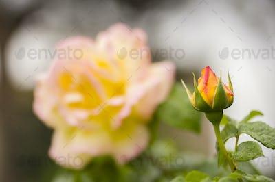 Ornamental rose