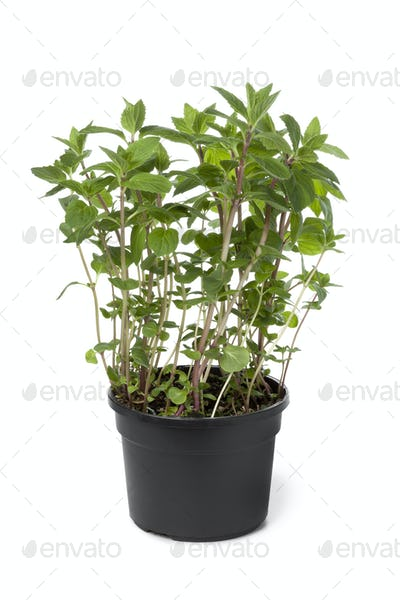 Pot with ginger-mint plant