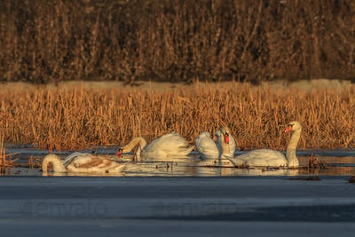 whooper swan (cygnus cygnus) on lake