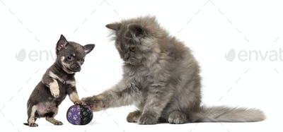 Persian kitten and Chihuahua puppy playing with a ball - isolated on white