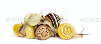 Pile of Grove snails or brown-lipped snails, Cepaea nemoralis, in front of white background