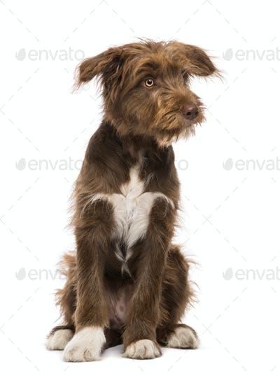 Crossbreed, 5 months old, sitting and looking right against white background