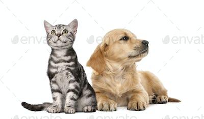 Golden retriever puppy lying next to British Shorthair kitten sitting, isolated on white