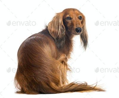 Rear view of a Dachshund, 4 years old, sitting and looking back against white background