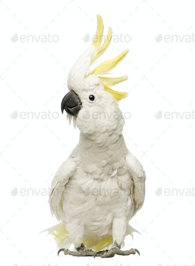 Sulphur-crested Cockatoo, Cacatua galerita, 30 years old, with crest up in front of white background
