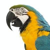 Side view close-up of a Blue-and-yellow Macaw, Ara ararauna, 30 years old