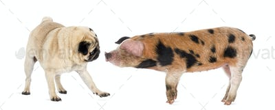 Oxford Sandy and Black piglet, 9 weeks old, sniffing a pug against white background