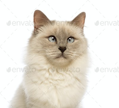 Close-up of a Birman looking away, crossed-eyes against white background