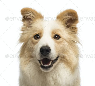 Close-up of a Border Collie, 2.5 years old, in front of white background