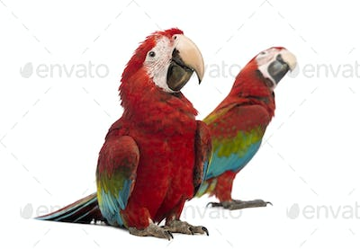 Two Green-winged Macaws, 1 year old, in front of white background